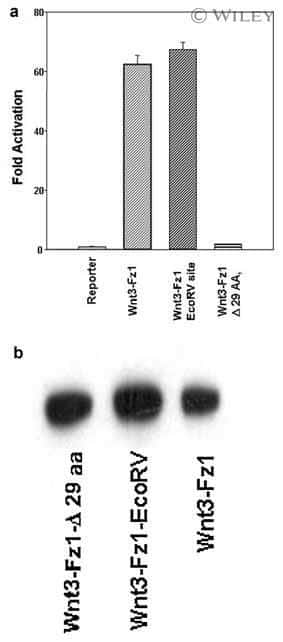 WNT3 Antibody