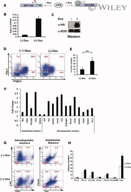 CD309 (FLK1) Antibody