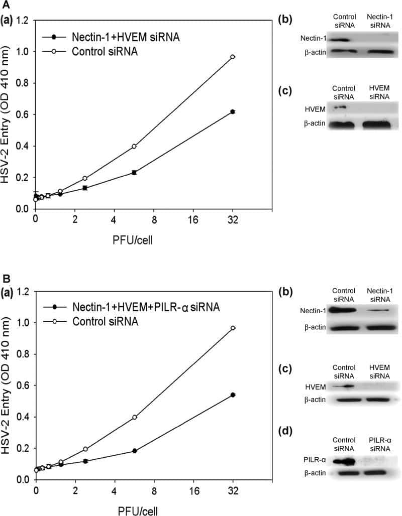 Nectin 1 Antibody