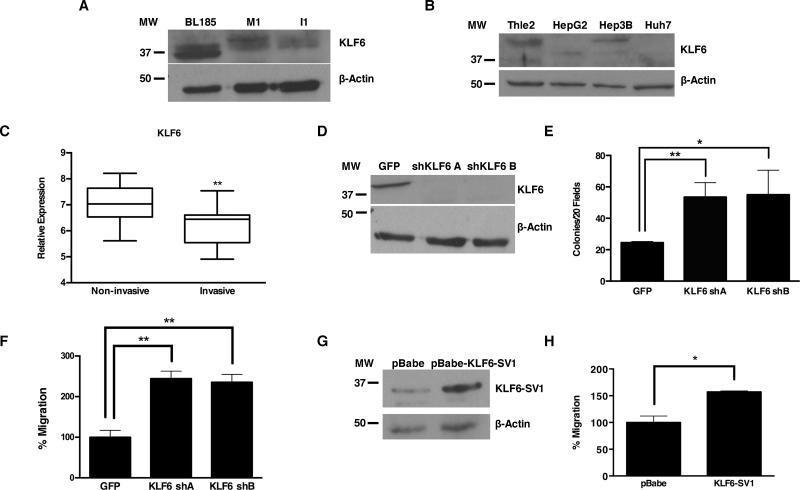 KLF6 Antibody
