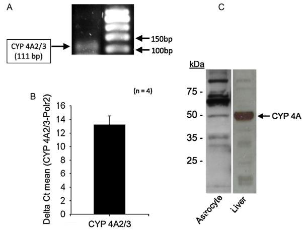 Cyp4a10 Antibody