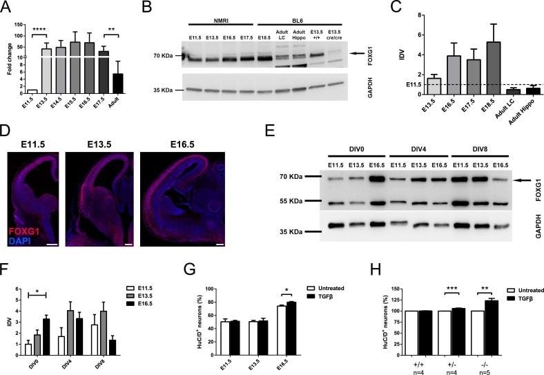 HuC/HuD Antibody