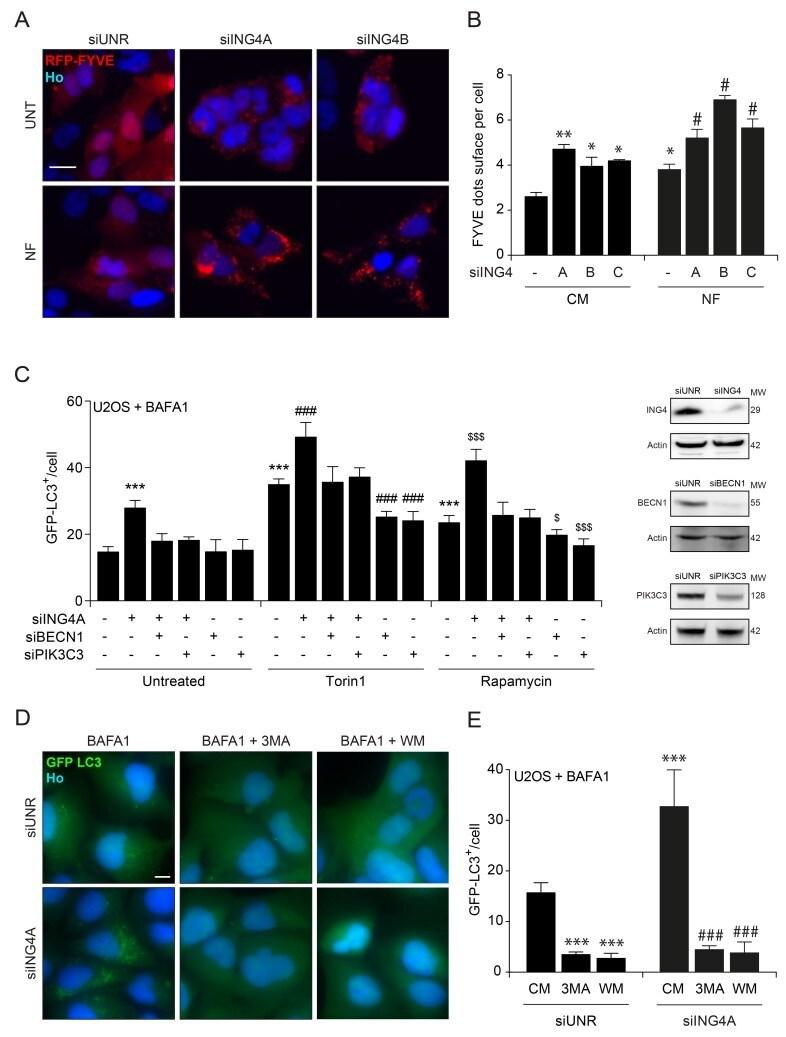 ING4 Antibody