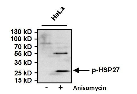 Phospho-HSP27 (Ser15) Antibody in Western Blot (WB)