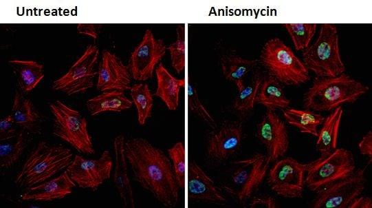 Phospho-JNK1/JNK2 (Thr183, Tyr185) Antibody in Immunofluorescence (IF)