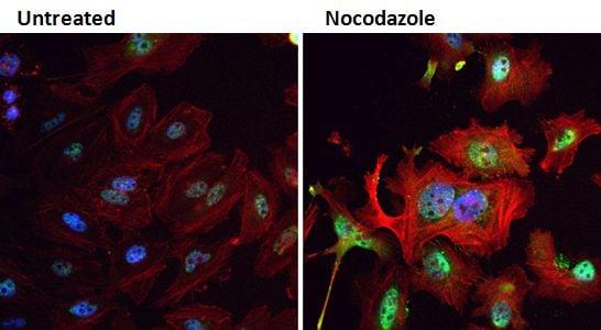 Phospho-PLK1 (Thr210) Antibody in Immunofluorescence (IF)