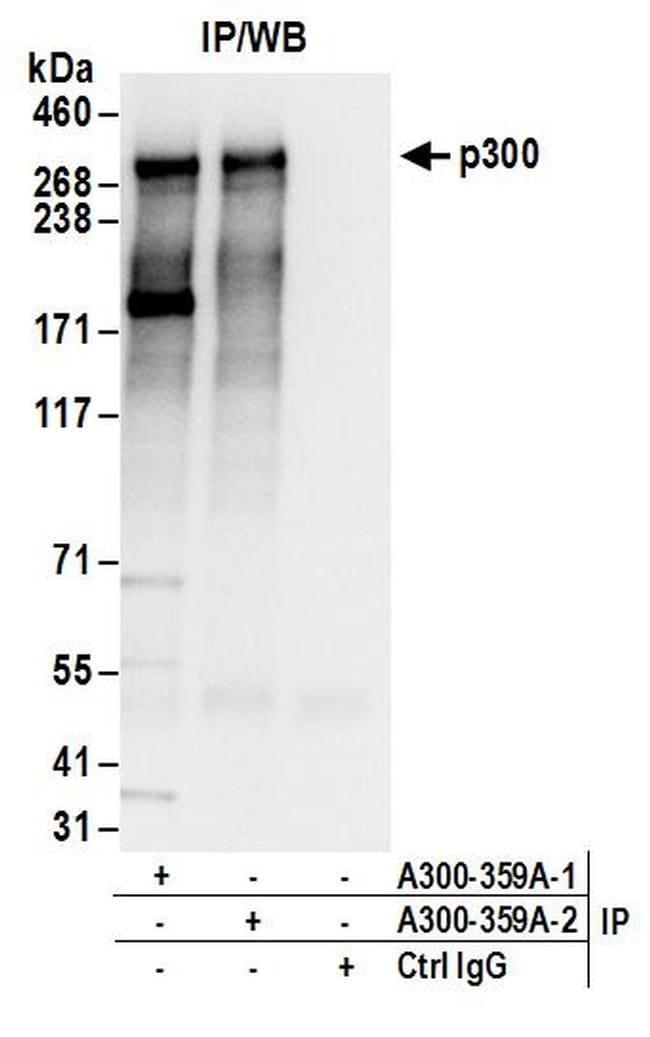 p300 Antibody in Western Blot (WB)