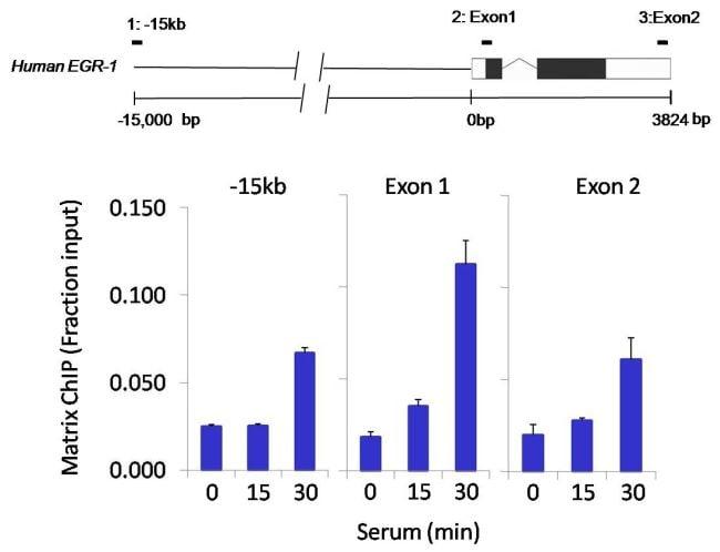 p300 Antibody in ChIP assay (ChIP)