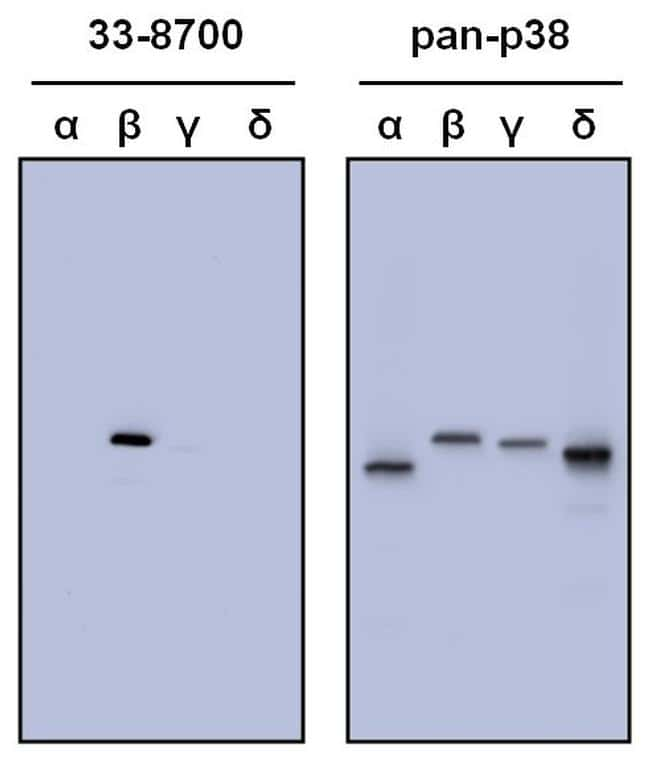 p38 MAPK beta Antibody in Peptide array