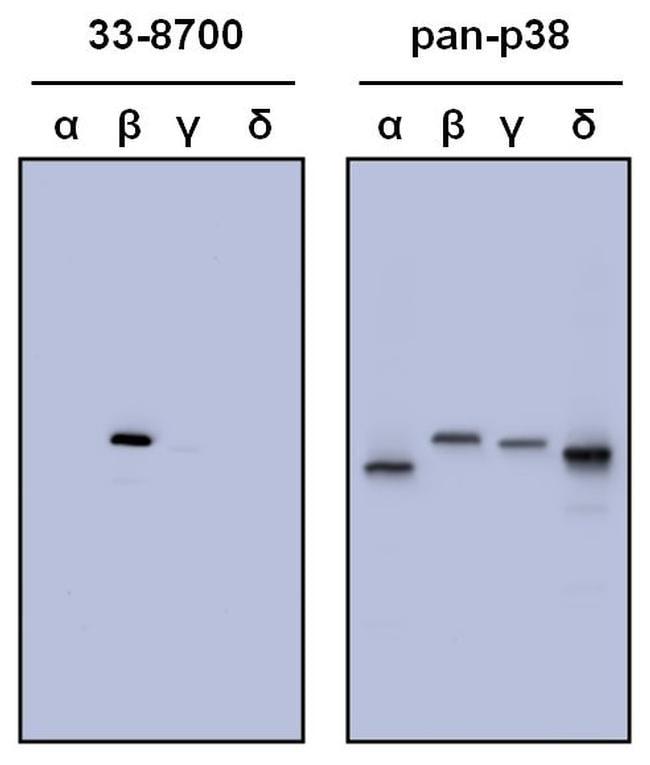 p38 MAPK beta Antibody in Western Blot (WB)