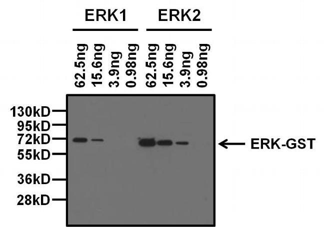 ERK2 Antibody in Western Blot (WB)