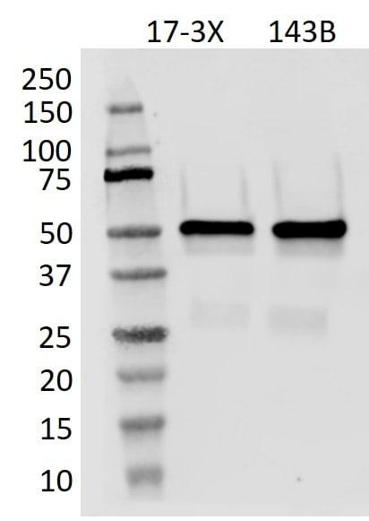 p53 Antibody in Western Blot (WB)
