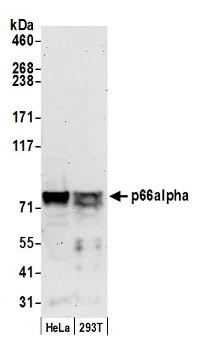 p66alpha Antibody in Western Blot (WB)