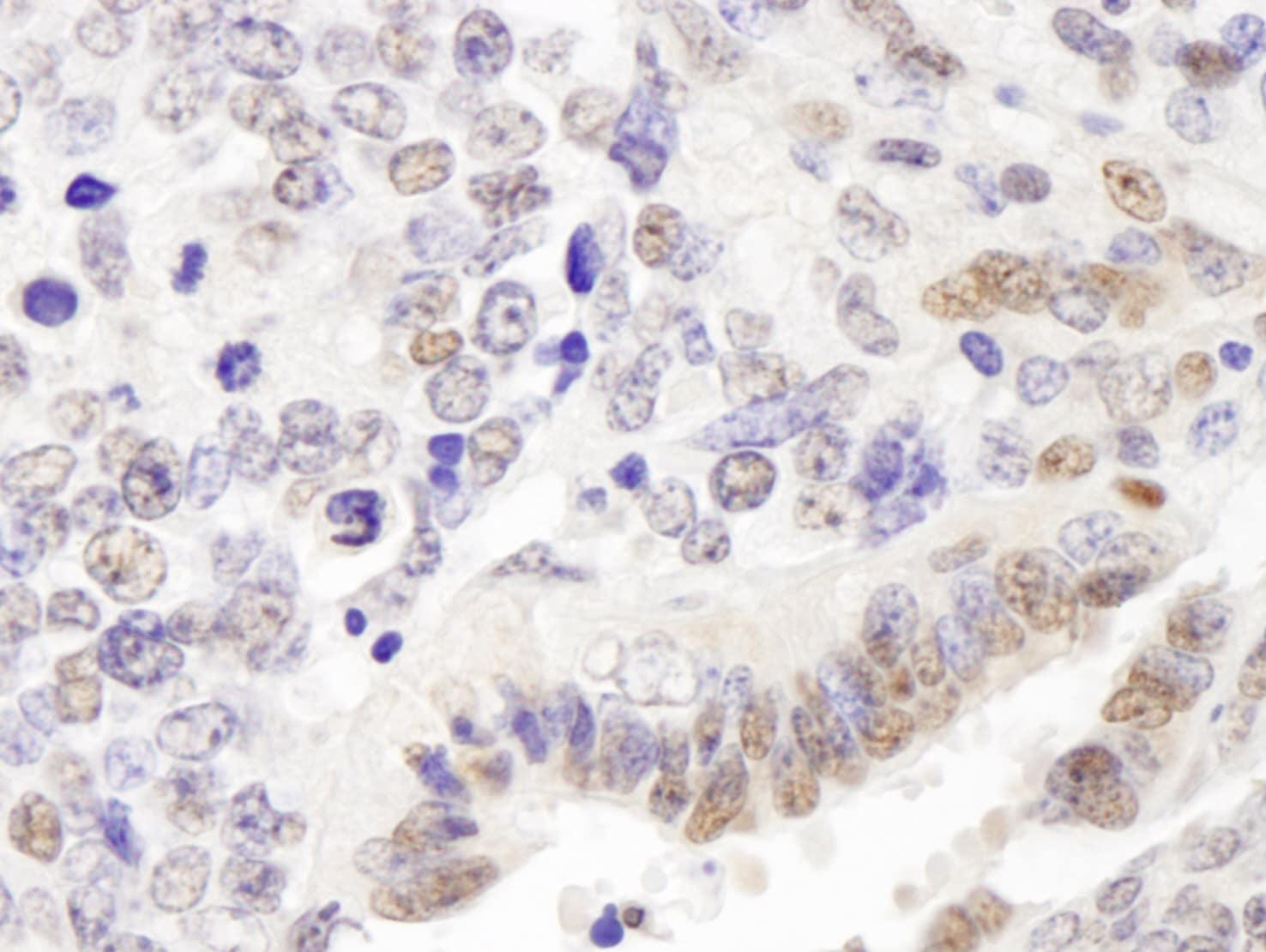 p66alpha Antibody in Immunohistochemistry (IHC)