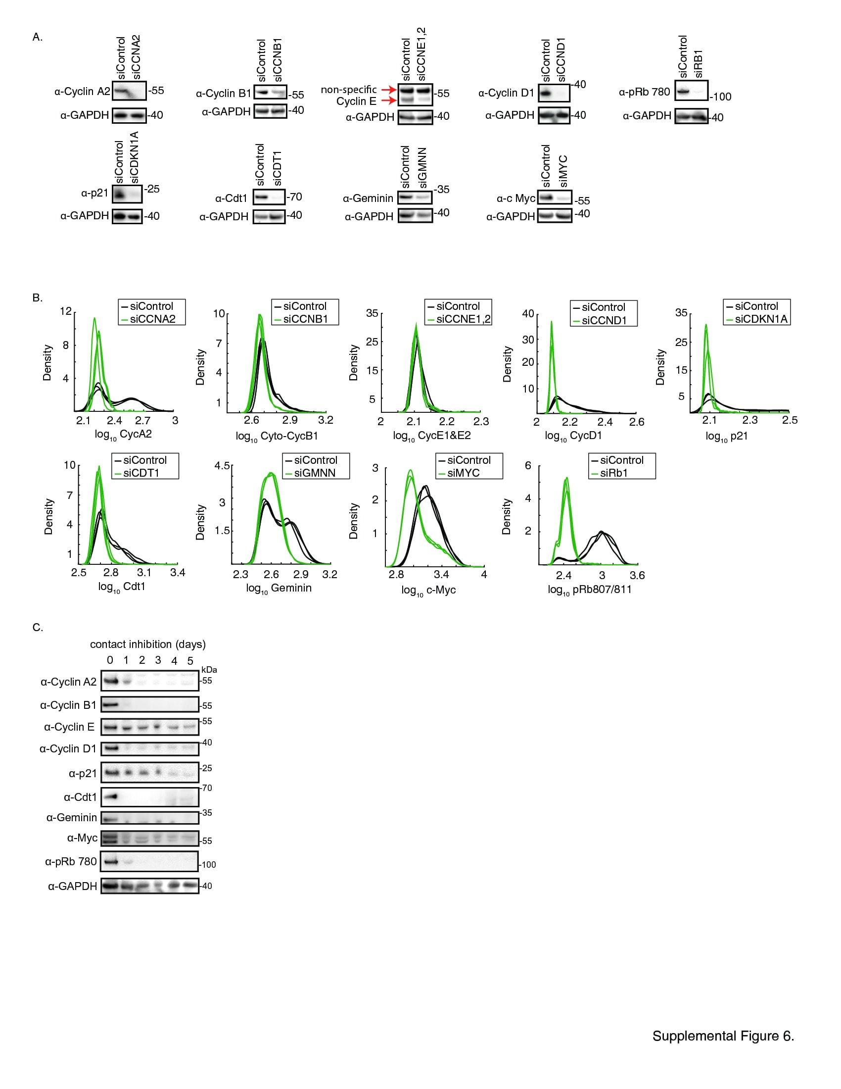 Cyclin E Antibody