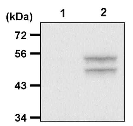 Phospho-JNK1/JNK2 (Thr183, Tyr185) Antibody in Immunoprecipitation (IP)