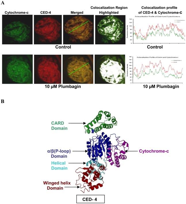 Cytochrome C Antibody