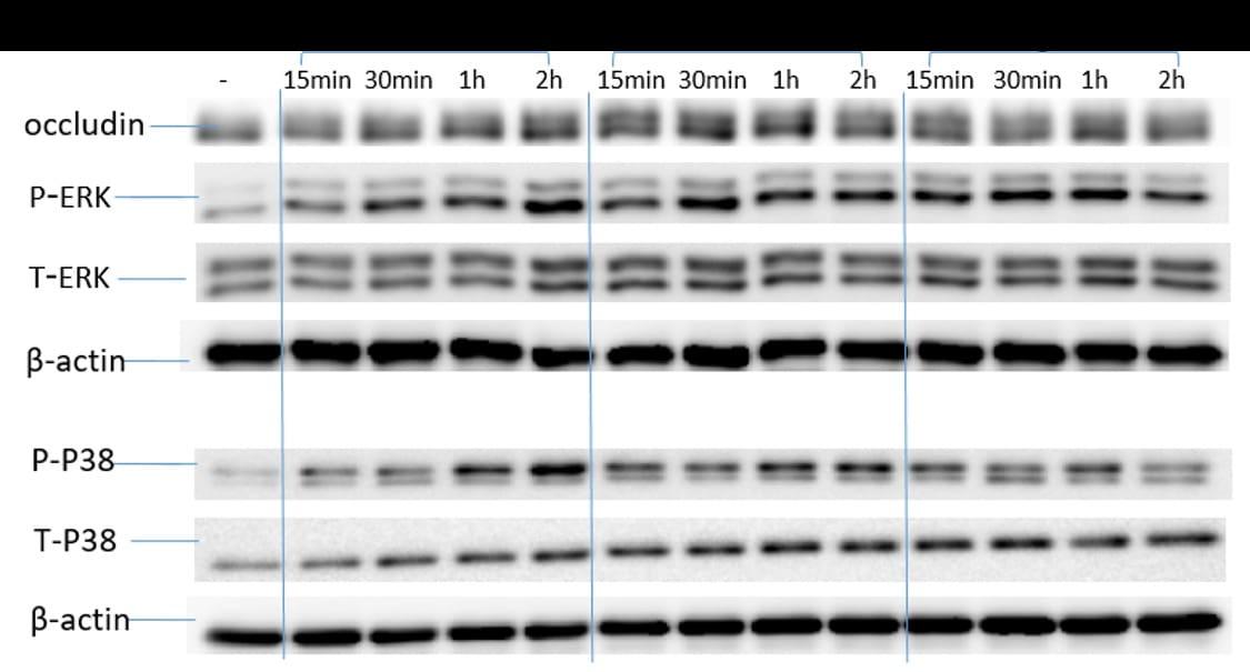 Occludin Antibody