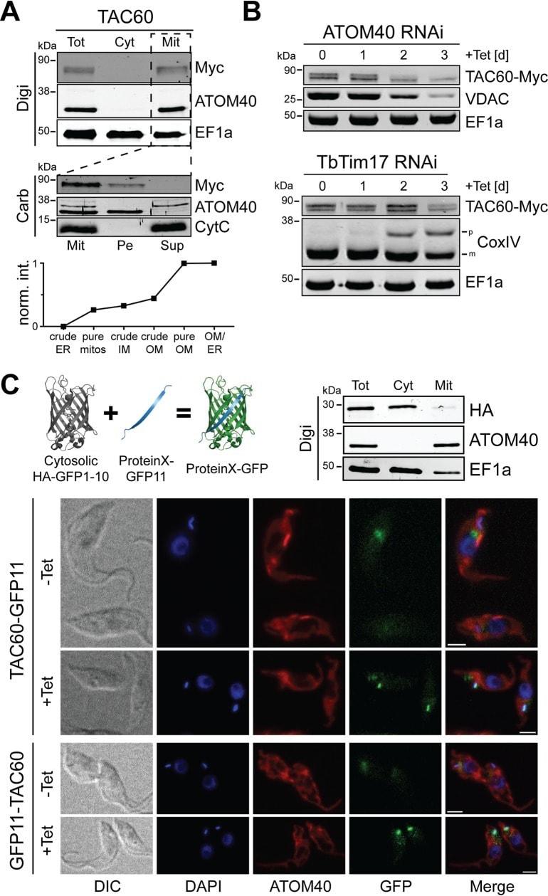 c-Myc Antibody