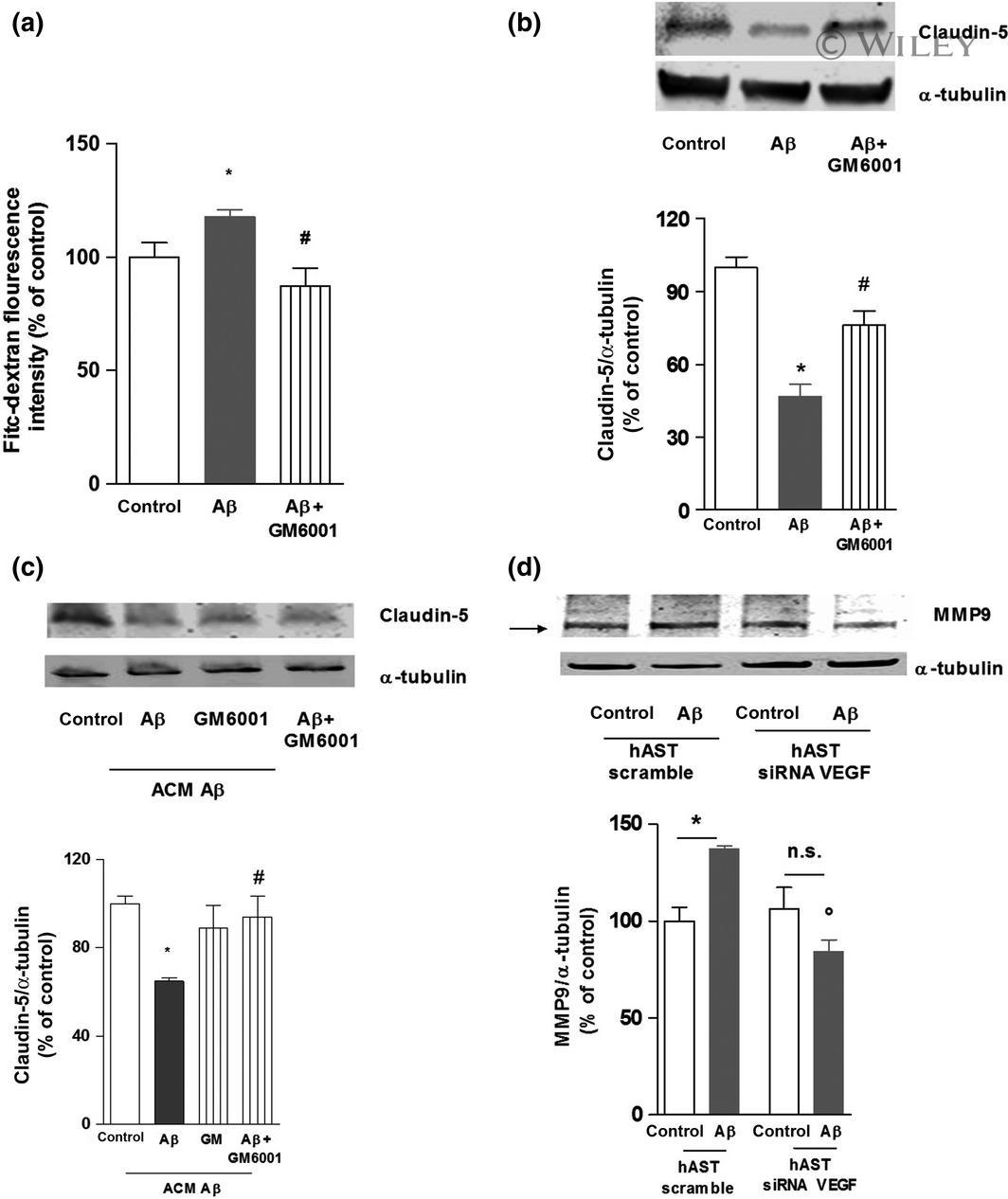 Claudin 5 Antibody