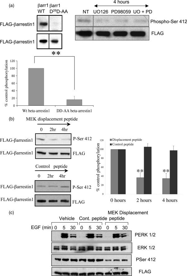 Phospho-beta Arrestin 1 (Ser412) Antibody in Western Blot (WB)