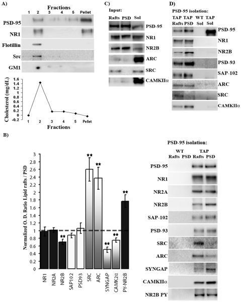 NMDAR1 Antibody