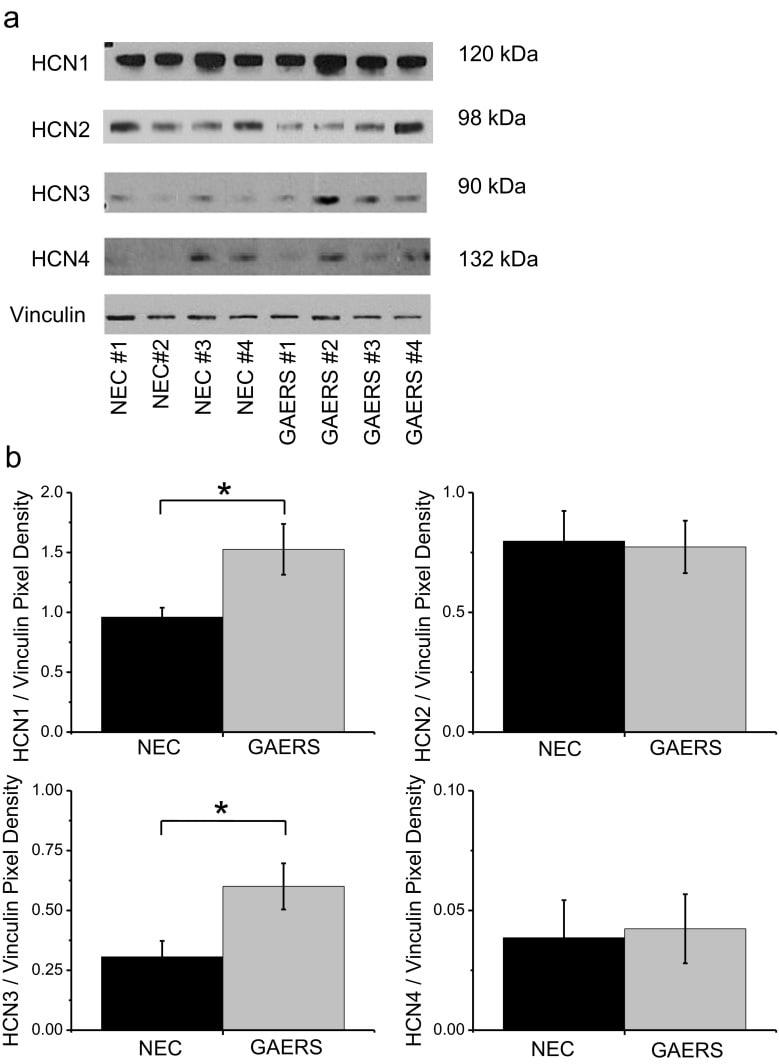 HCN3 Antibody