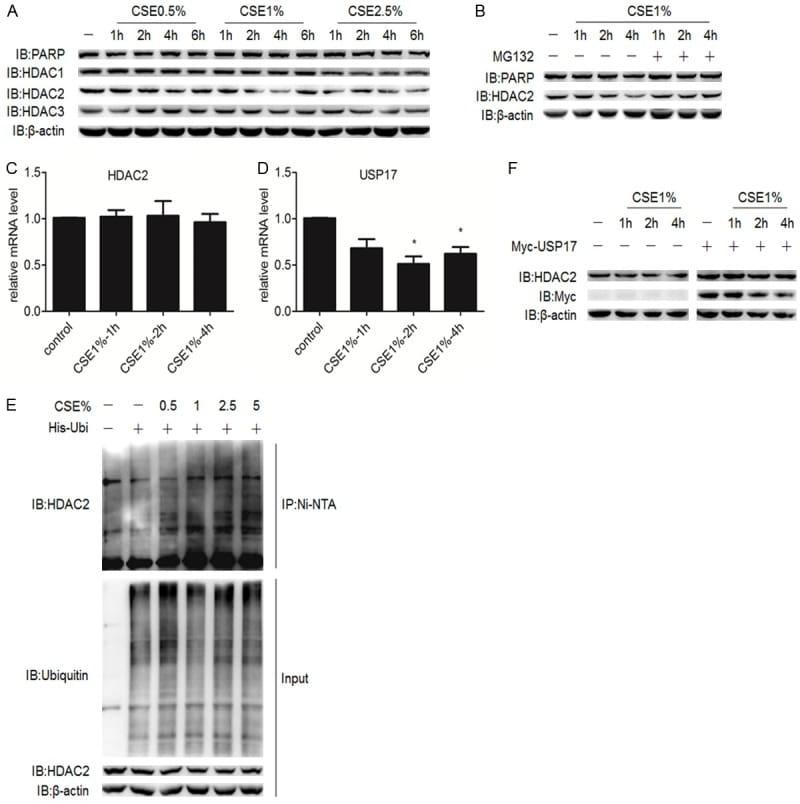 PARP1 Antibody