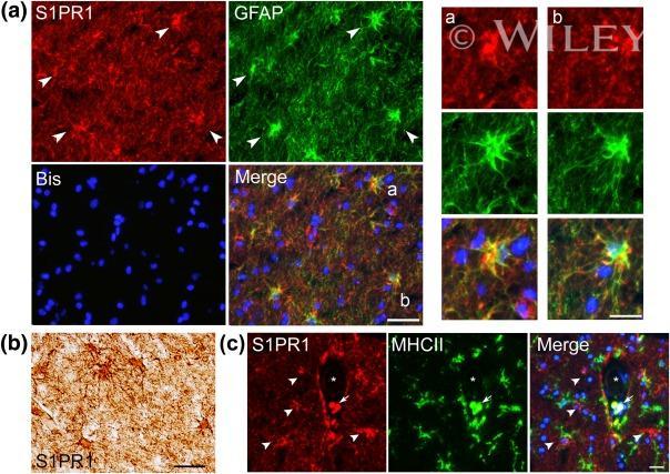 MHC Class II (I-A/I-E) Antibody