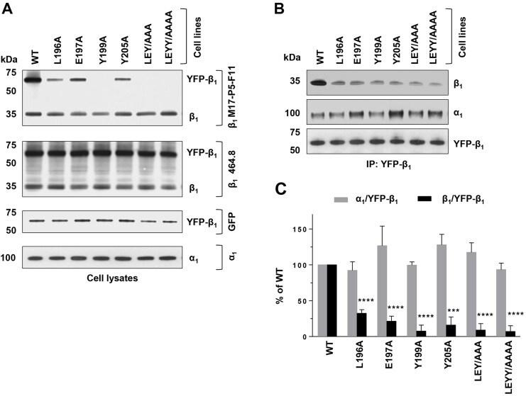 ATP1B1 Antibody