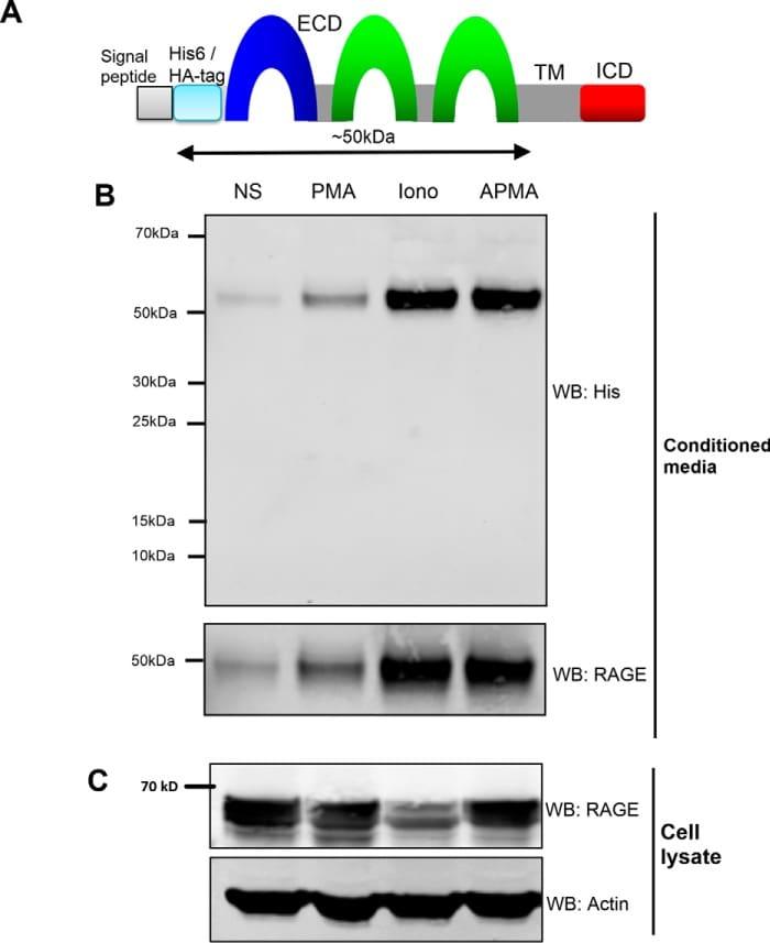 HisG Epitope Tag Antibody