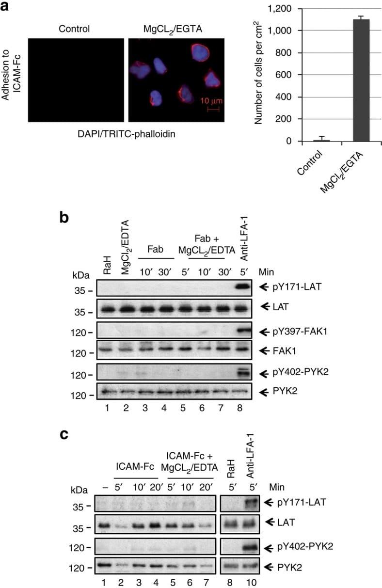 Phospho-LAT (Tyr132) Antibody