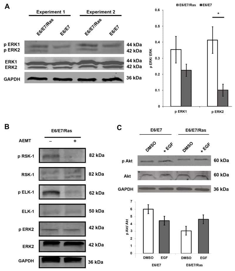 Phospho-AKT1 (Thr308) Antibody