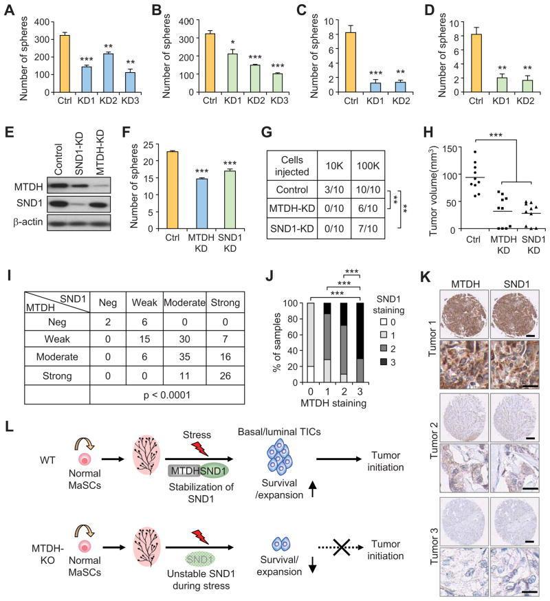 Metadherin Antibody in Western Blot, Immunohistochemistry (WB, IHC)