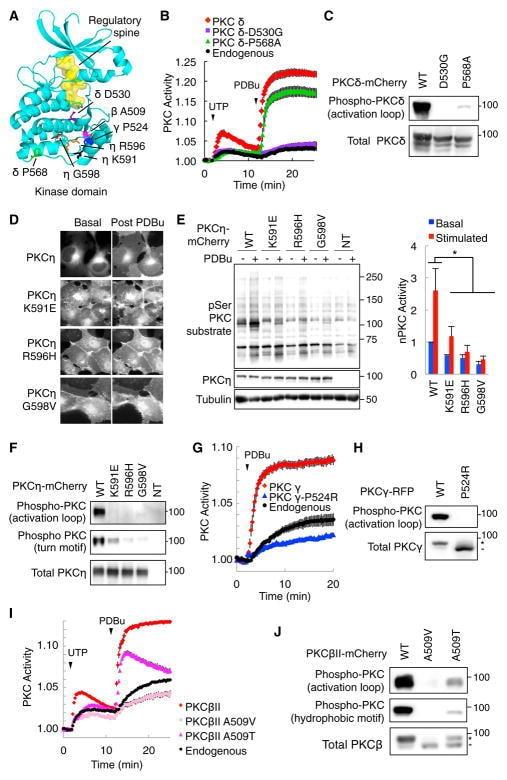 PKC gamma Antibody
