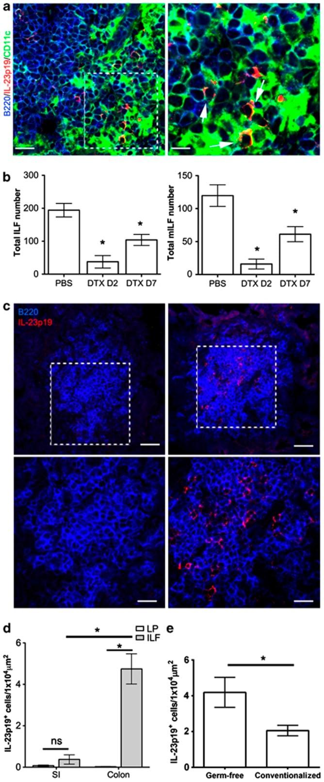 CD45R Antibody