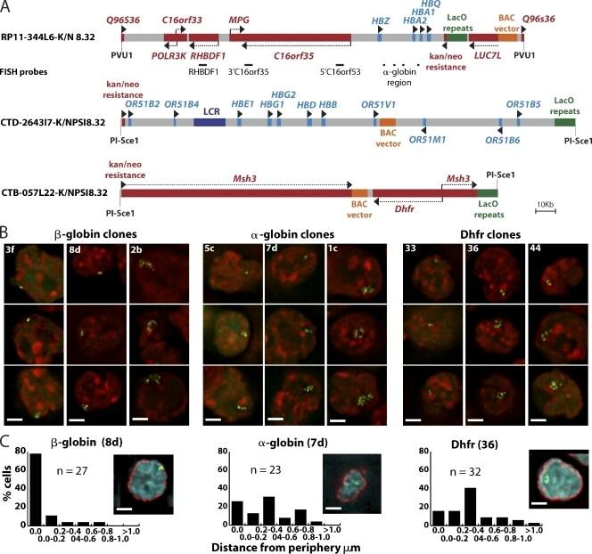 NUP62 Antibody in Immunocytochemistry, Immunohistochemistry (ICC/IF, IHC)