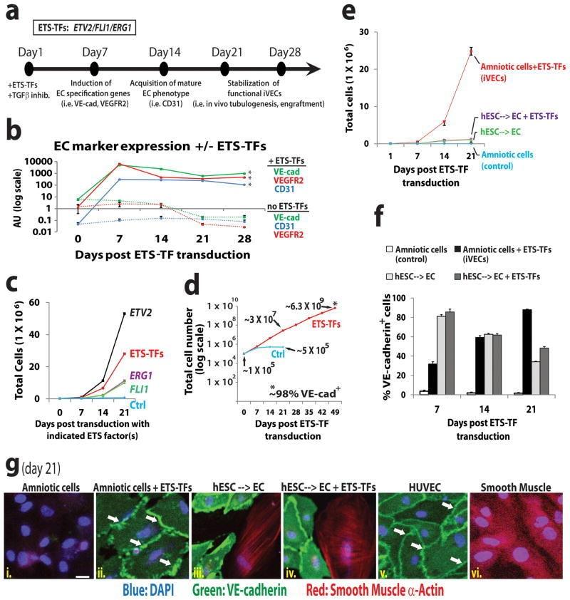 CD144 (VE-cadherin) Antibody