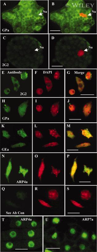 Actin Antibody