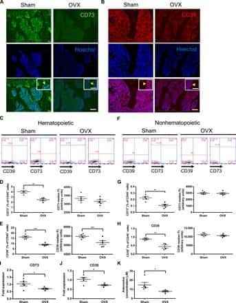 CD73 Antibody