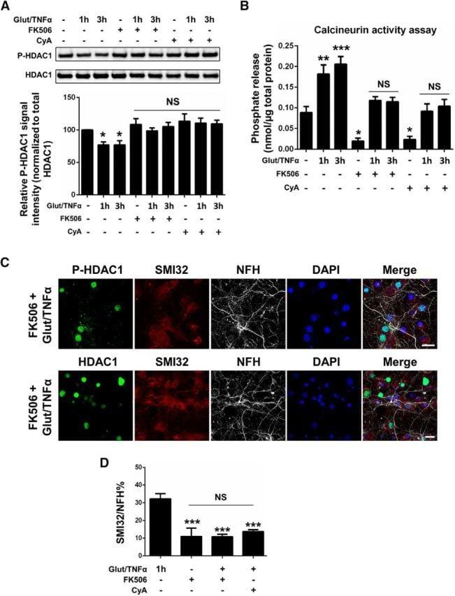 Phospho-HDAC1 (Ser421, Ser423) Antibody