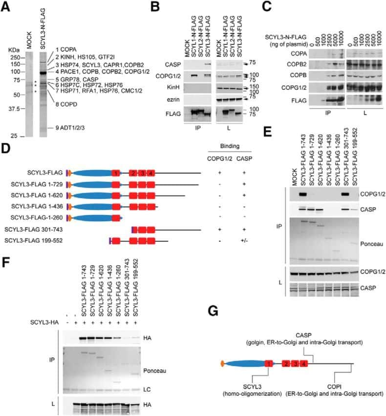 CUX1/Protein CASP Antibody