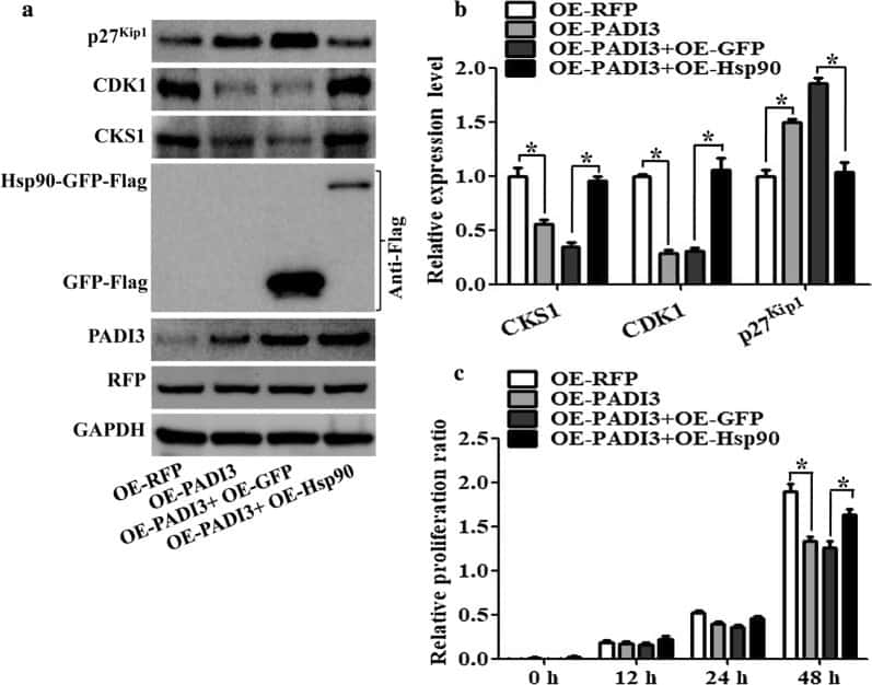 CDK1 Antibody