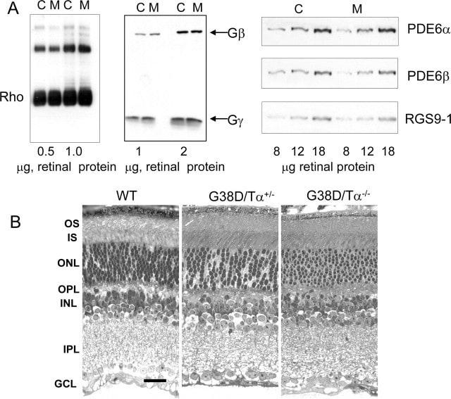 GluR3 Antibody