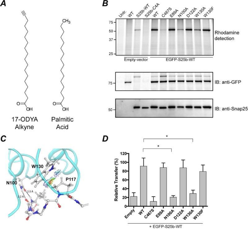 SNAP25 Antibody