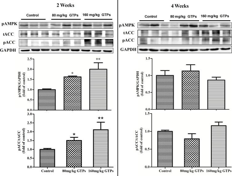 Acetyl-CoA Carboxylase Antibody