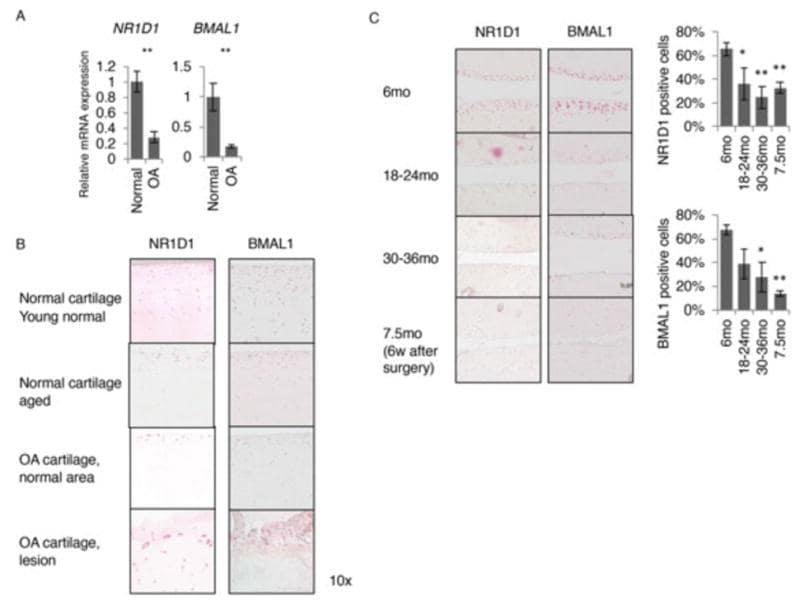 BMAL1 Antibody