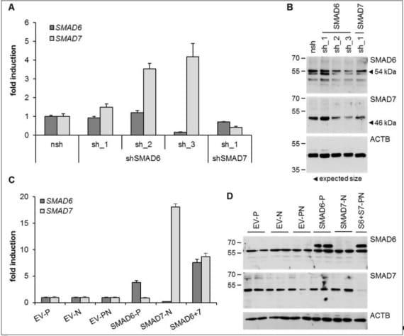 SMAD6 Antibody