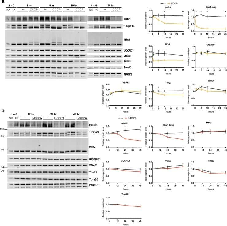 UQCRC1 Antibody