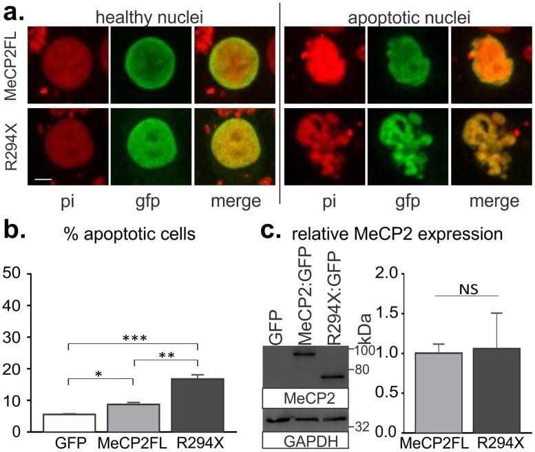 MECP2 Antibody